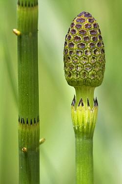 Water Horsetail (Equisetum fluviatile) stem and cone, Estabrook Woods, Massachusetts  -  Piotr Naskrecki