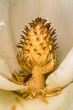 Big-leaf Magnolia (Magnolia macrophylla) flower with pollen producing anthers and beetle, Estabrook Woods, Massachusetts  -  Piotr Naskrecki