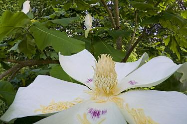 Big-leaf Magnolia (Magnolia macrophylla) flower, Estabrook Woods, Massachusetts  -  Piotr Naskrecki
