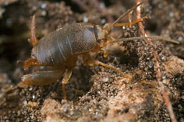 Eastern Ant Cricket (Myrmecophilus pergandei) living in ant nest, Estabrook Woods, Massachusetts  -  Piotr Naskrecki