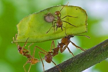Leafcutter Ant (Atta cephalotes) worker on leaf protecting larger workers carrying leaf from parasitoid flies, Costa Rica  -  Piotr Naskrecki