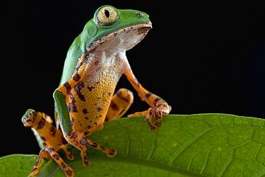 Tiger-striped Leaf Frog (Phyllomedusa tomopterna), Surinam  -  Piotr Naskrecki