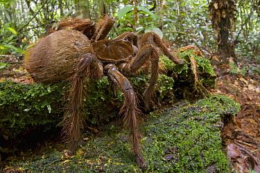 Goliath Bird-eating Spider (Theraphosa blondi), Surinam  -  Piotr Naskrecki