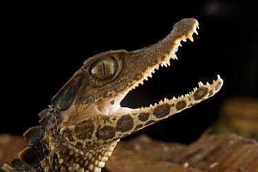 Schneider's Dwarf Caiman (Paleosuchus trigonatus) young in defensive posture, Guyana  -  Piotr Naskrecki