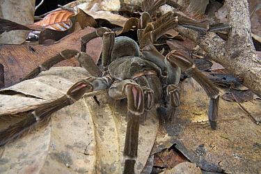 Goliath Bird-eating Spider (Theraphosa blondi) in leaf litter, Guyana  -  Piotr Naskrecki