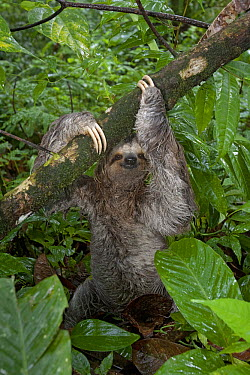 Brown-throated Three-toed Sloth (Bradypus variegatus) coming to forest floor to defecate, Costa Rica  -  Piotr Naskrecki