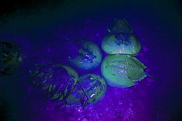 Horseshoe Crab (Limulus polyphemus) fluoresce a pale green color if exposed to ultraviolet light, Delaware  -  Piotr Naskrecki