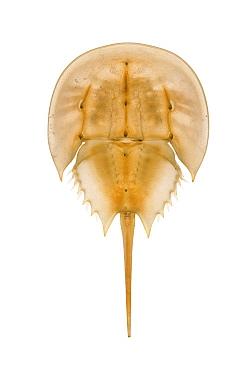 Horseshoe Crab (Limulus polyphemus) shed skin, Delaware  -  Piotr Naskrecki