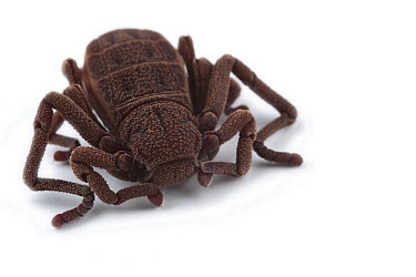 Atewa Hooded Spider (Ricinoides atewa), a recently discovered species, Ghana  -  Piotr Naskrecki