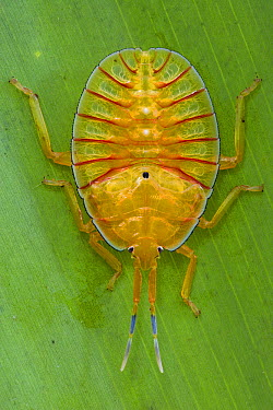Tessaratomid (Tessaratomidae) nymph with warning coloration, Papua New Guinea  -  Piotr Naskrecki