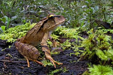 Australian Ground Frog (Lechriodus aganoposis), Papua New Guinea  -  Piotr Naskrecki