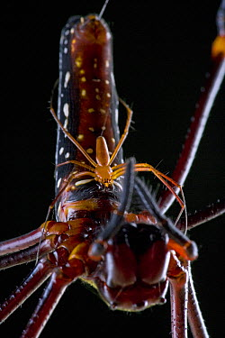 Giant Wood Spider (Nephila maculata) male spinning web on female to make sure he does not fall off, Papua New Guinea  -  Piotr Naskrecki