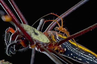 Giant Wood Spider (Nephila maculata) pair mating, Papua New Guinea  -  Piotr Naskrecki