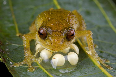 Cross Frog (Oreophryne sp) male protecting his clutch of eggs, Papua New Guinea  -  Piotr Naskrecki