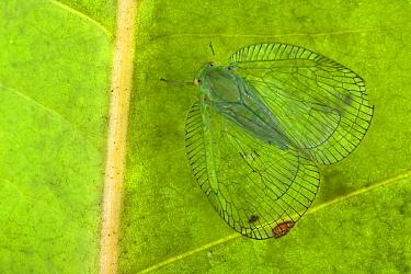 Planthopper (Ricaniidae) mimicking the veination of leaves, Papua New Guinea  -  Piotr Naskrecki