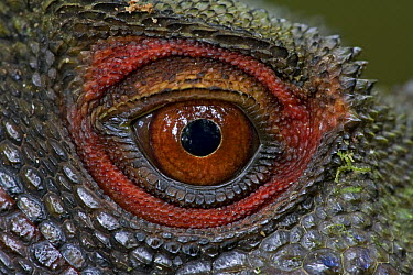Indonesian Forest Dragon (Hypsilurus dilophus) eye, Papua New Guinea  -  Piotr Naskrecki
