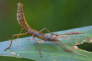 Stick Insect (Thaumatobactron sp), Papua New Guinea  -  Piotr Naskrecki