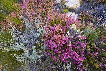 Heath vegetation in fynbos habitat, South Africa  -  Piotr Naskrecki