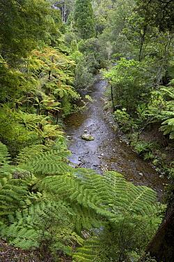 Treefern (Cyathea sp) group lining creek, Rimutaka Forest Park, New Zealand  -  Piotr Naskrecki