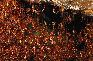 Army Ant (Eciton hamatum) nest constructed completely of ants hanging onto each other, Barro Colorado Island, Panama  -  Christian Ziegler