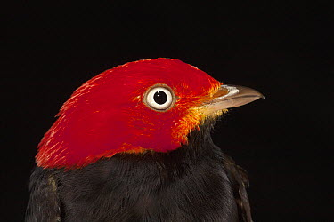 Red-capped Manakin (Pipra mentalis) male, Barro Colorado Island, Panama  -  Christian Ziegler