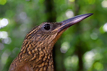 Plain-brown Woodcreeper (Dendrocincla fuliginosa), Barro Colorado Island, Panama  -  Christian Ziegler