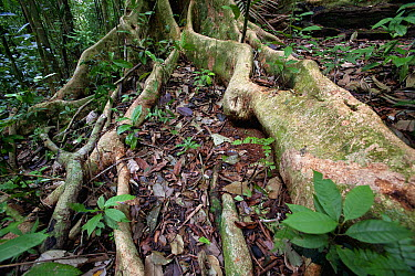 Roots along forest floor to get nutrients released by decaying litter rather than underground, Barro Colorado Island, Panama  -  Christian Ziegler
