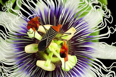 Flag-footed Bug (Anisocelis flavolineata) on passion flower, Barro Colorado Island, Panama  -  Christian Ziegler