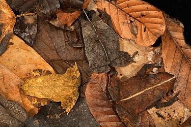 Toad (Bufo acutirostris) trio camouflaged in leaf litter, Barro Colorado Island, Panama  -  Christian Ziegler