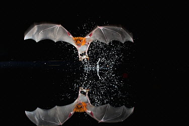 Greater Bulldog Bat (Noctilio leporinus) uses its feet to collect insects fluttering on lake surface, Barro Colorado Island, Panama  -  Christian Ziegler