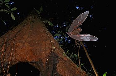 Fringe-lipped Bat (Trachops cirrhosus) leaving roost, Barro Colorado Island, Panama  -  Christian Ziegler
