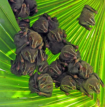 Peters' Tent-making Bat (Uroderma bilobatum) group roosting under large leaf after making incisions causing leaf to bend and form tent, Barro Colorado Island, Panama  -  Christian Ziegler