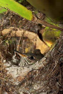Black-tailed Trainbearer (Lesbia victoriae) chick in nest, Quito, Ecuador  -  Pete Oxford