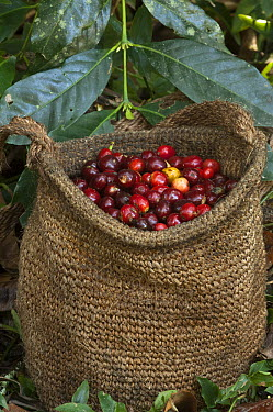 Coffee (Coffea arabica) mature beans in sisal bag, Intag Valley, northwest Ecuador  -  Pete Oxford