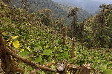 Naranjilla (Solanum quitoense) crop growing amid clear-cut forest, Intag Valley, northwest Ecuador  -  Pete Oxford