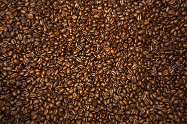 Coffee (Coffea arabica) roasted beans in Coffee Producers Association, Intag Valley, northwest Ecuador  -  Pete Oxford