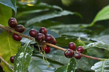 Coffee (Coffea arabica) mature beans, Intag Valley, northwest Ecuador  -  Pete Oxford