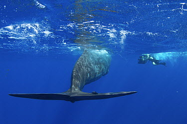 Sperm Whale (Physeter macrocephalus) with diver, Caribbean Sea, Dominica  -  Norbert Wu