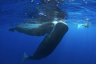 Sperm Whale (Physeter macrocephalus) pair with diver, Caribbean Sea, Dominica  -  Norbert Wu