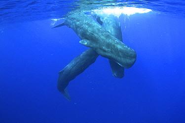 Sperm Whale (Physeter macrocephalus) trio, Caribbean Sea, Dominica  -  Norbert Wu