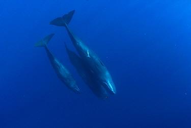 Sperm Whale (Physeter macrocephalus) trio floating vertically, Caribbean Sea, Dominica  -  Norbert Wu