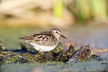 Least Sandpiper (Calidris minutilla) on mudflat, Nova Scotia, Canada  -  Scott Leslie