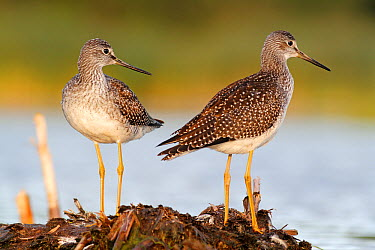 Greater Yellowlegs (Tringa melanoleuca) pair, Amherst Point Federal Migratory Bird Sanctuary, Nova Scotia, Canada  -  Scott Leslie