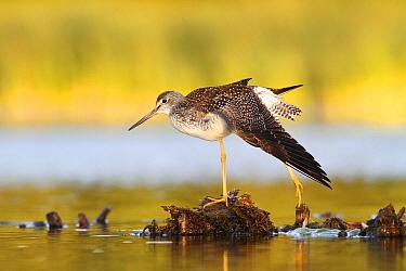 Greater Yellowlegs (Tringa melanoleuca) stretching, Amherst Point Federal Migratory Bird Sanctuary, Nova Scotia, Canada  -  Scott Leslie