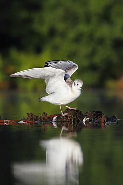 Bonaparte's Gull (Larus philadelphia) juvenile stretching wings, Nova Scotia, Canada  -  Scott Leslie
