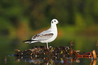 Bonaparte's Gull (Larus philadelphia) juvenile in marsh, Nova Scotia, Canada  -  Scott Leslie