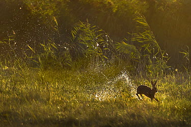 European Hare (Lepus europaeus) jumping through wetland, Netherlands  -  Jim Brandenburg