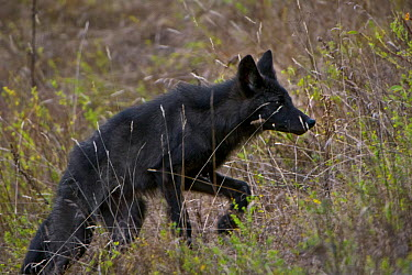 Timber Wolf (Canis lupis) pup in tall grass, Superior National Forest, Minnesota  -  Jim Brandenburg