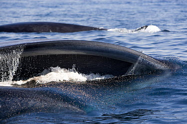 Fin Whale (Balaenoptera physalus) pair gulp feeding on krill, San Diego, California  -  Richard Herrmann