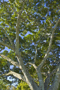 Gray Mangrove (Avicennia marina) tree, Brisbane, Queensland, Australia  -  Yva Momatiuk & John Eastcott